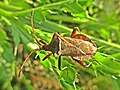 Coreus marginatus (Coreidae sp.), Elst (Gld), the Netherlands - 2.jpg
