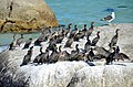 Cormorant flock at Boulders Beach, South Africa.jpg