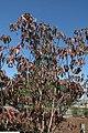 Cornus florida rubra 4zz.jpg