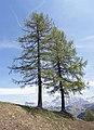 Corvara - trees.jpg