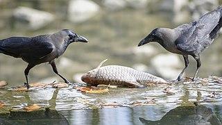 Corvus splendens @ Kuala Lumpur (4s, p5).jpg