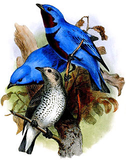 Lovely cotinga species of bird