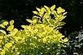 Cotinus coggygria Golden Spirit 0zz.jpg