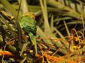 Cotorra de kramer, Psittacula krameri (4915001389).jpg