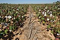 Cotton planted in corn residue on producer Bobby Byrd's farm in Hale County near Plainview, Texas. (24749534449).jpg