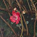 Couroupita guianensis, flower of the Canonball tree. (9505276146).jpg