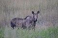 Cow Moose (9923574563).jpg
