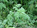 Cow Parsley (Anthriscus sylvestris) - geograph.org.uk - 819643.jpg