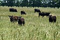 Cow calf pairs graze summer forages in Anderson County, Texas. NRCS photo by Beverly Moseley. (24818038560).jpg