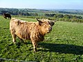Cow on Pale Heights - geograph.org.uk - 1758619.jpg