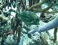 Cowfish Honeycomb Cowfish black and yellowish in color (7157426087).jpg