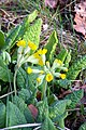 Cowslips (Primula veris) - geograph.org.uk - 1215560.jpg