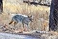 Coyote (24760763242).jpg