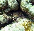 Crab Coral Crab under a rock (7342730748).jpg