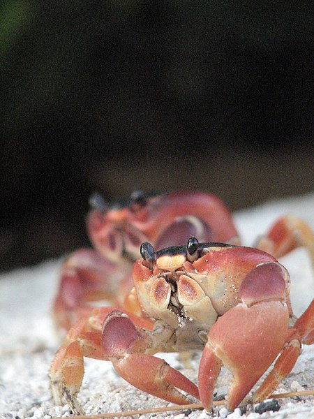File:Crabs - Barbados.jpg