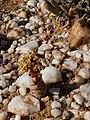 Crassula columnaris Knersvlakte 01.jpg