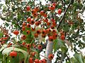 Crataegus phaenopyrum 1.jpeg