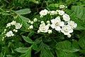 Crataegus pinnatifida (Rosaceae) (35798826515).jpg
