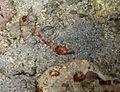 Crevette nettoyeuse de la famille des Penaeidae.jpg