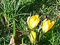Crocus, Wormholt Park - geograph.org.uk - 674853.jpg