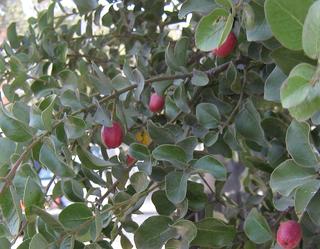 <i>Cryptocarya alba</i> species of plant