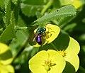Cuckoo Wasp Chrysididae (31474606033).jpg
