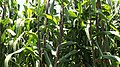 Cultivo de maiz.JPG