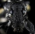 Curculionidae, U, face, La Ve Jarabacoa, Dominican Republic 2013-02-28-11.06.54 ZS PMax.jpg