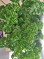 Curly parsley.jpg