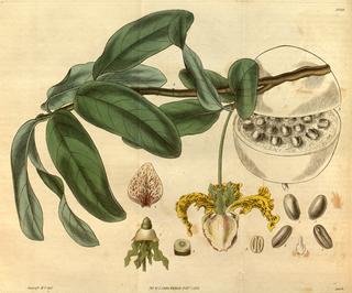 <i>Monodora myristica</i> Species of tree