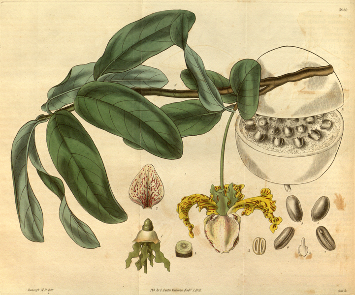 File:Curtis's Botanical Magazine, Plate 3059 (Volume 58, 1831).png