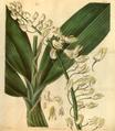Curtis's Botanical Magazine, Plate 3074 (Volume 58, 1831).png