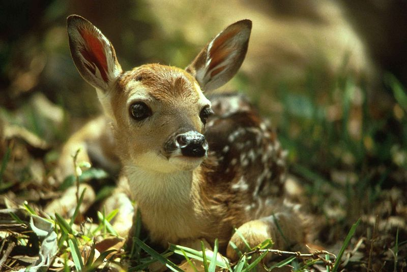 File:Cute deer fawn.jpg