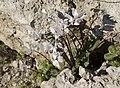 Cyclamen persicum - Persian cyclamen 02.jpg