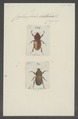 Cyclocephala - Print - Iconographia Zoologica - Special Collections University of Amsterdam - UBAINV0274 021 05 0007.tif