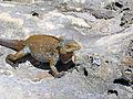 Cyclura rileyi rileyi (San Salvador rock iguana) (Green Cay, offshore from northwestern San Salvador Island, Bahamas) 12 (15853323528).jpg