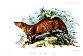 Indian brown mongoose - Image: Cynictis Maccarthiae Wolf