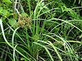 Cyperus javanicus (5744230380).jpg