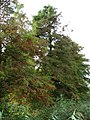 Cypress trees - geograph.org.uk - 599439.jpg