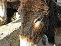 Cypriot Donkeys (32358667011).jpg