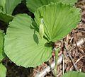 Cypripedium japonicum (bud).jpg