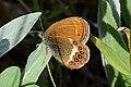 DSC 0604 Coenonympha hero.jpg