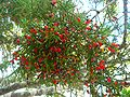 Dacrycarpus dacrydioides cones1.jpg
