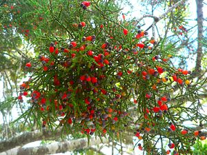 Dacrycarpus dacrydioides - Dacrycarpus dacrydioides cones and foliage.