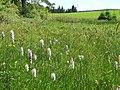 Dactylorhiza fuchsii 33.jpg