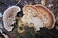 Daedalea quercina (Oak Mazegill or Mazegill Fungus, D= Eichenwirrling, F= Dédalée du chêne, NL= Doolhofzwam)(Querus=Oak=Eiche=Chêne=Eik) white spores, causes brownrot. The maze or labyrinth can be seen left at the b - panoramio.jpg