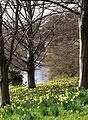 Daffodils 2 (3357663868).jpg
