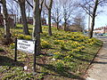 Daffodils on Holt Hill, Tranmere (1).JPG