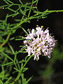 Dalea feayi and pollinator by Scott Zona - 002.jpg