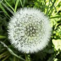 Dandelion (227323779).jpeg